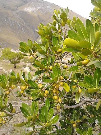 Tapia_Uapaca_bojeri_di Tylototriton - Wikipedia
