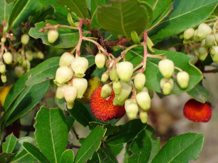 fiori, frutti e foglie del corbezzolo