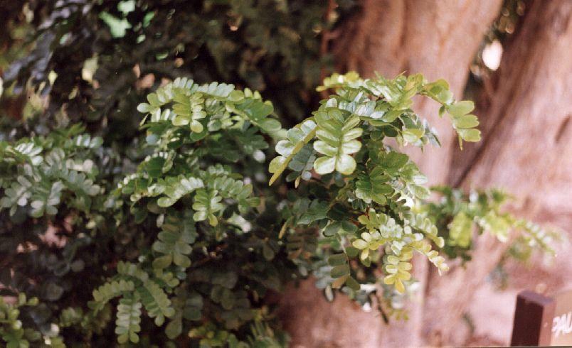 pau brasil foglie e legno di Valentino Liberali -Wiki
