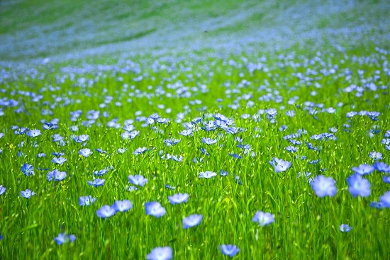 fiori-di-lino-pietralunga