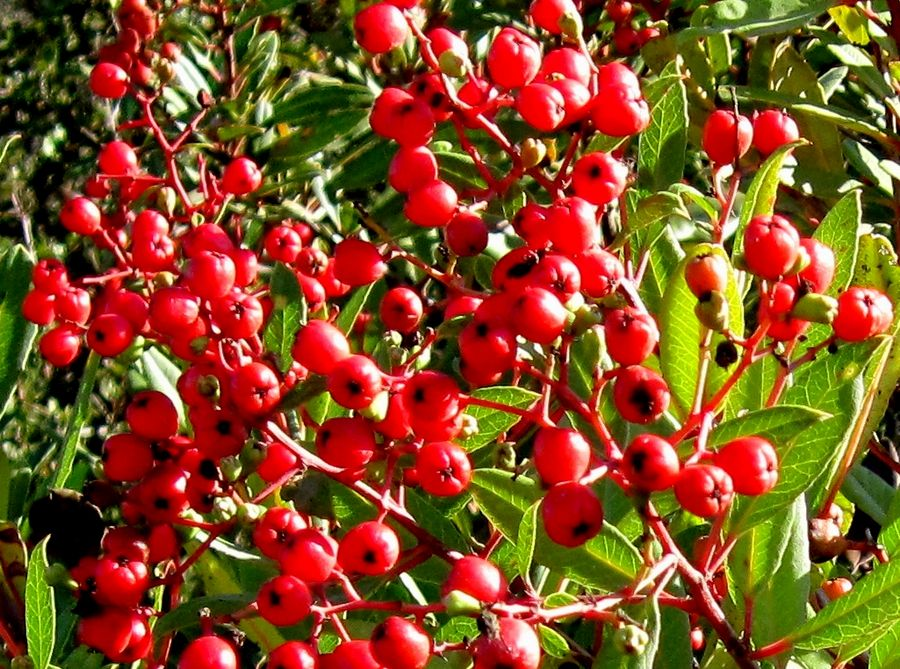 heteromeles_arbutifolia_900_13