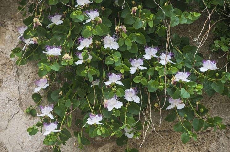cappero-fiore-giardinaggio-net