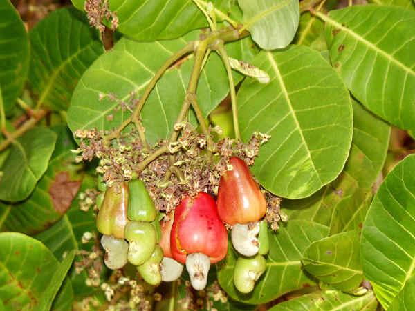 anacardio-frutto