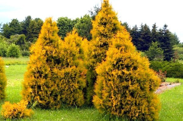 thuja-occidentalis-rheingold-da-donnadipiante