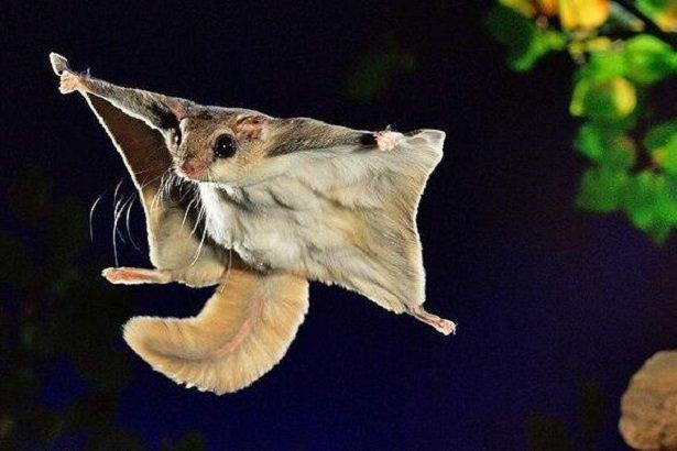 scoiattolo-volante-giapponese-da-idee-green