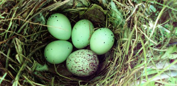 cuckoo-eggs-da-cam-ac-ukjpg