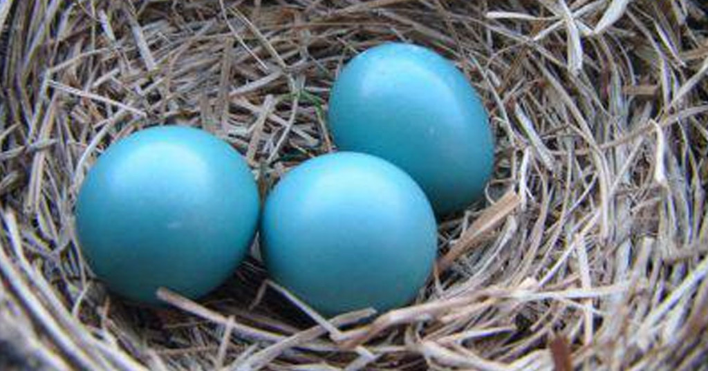 uova-blu-di-storno-da-incredibilia